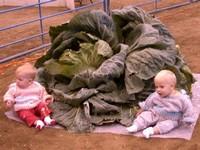 Овощи-гиганты с Аляски